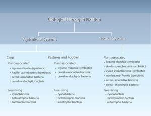 Biological Nitrogen Fixation By: Stephen C. Wagner